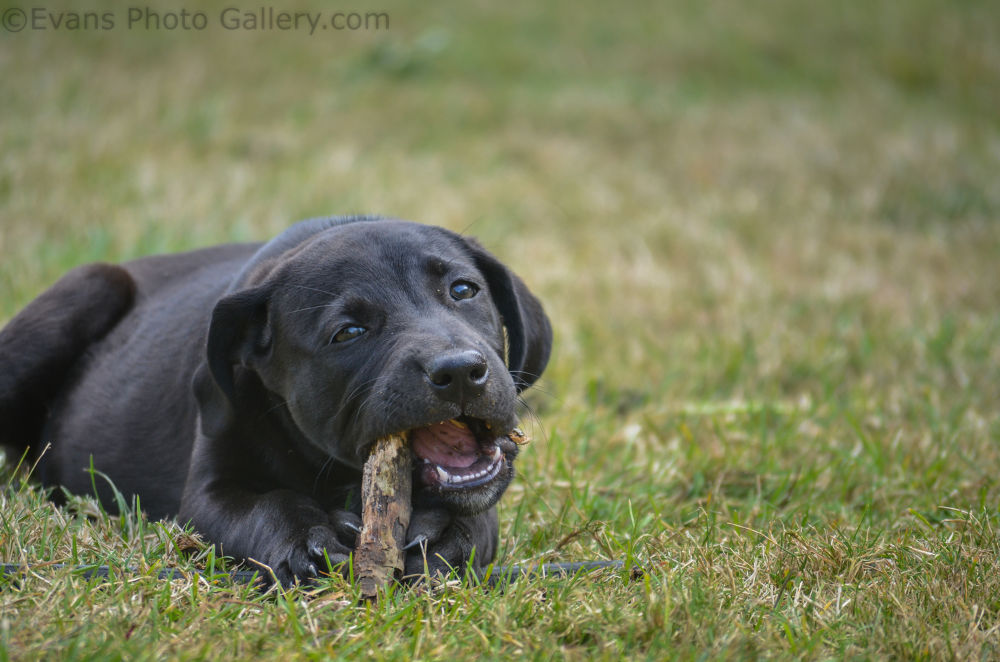 Black Lab Chewing A Stick by EvanWilson