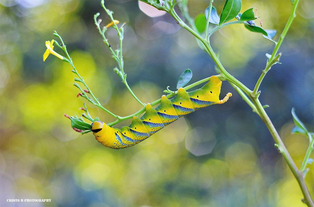 Caterpillar wigu wigu wigu by Cristo Bolaños