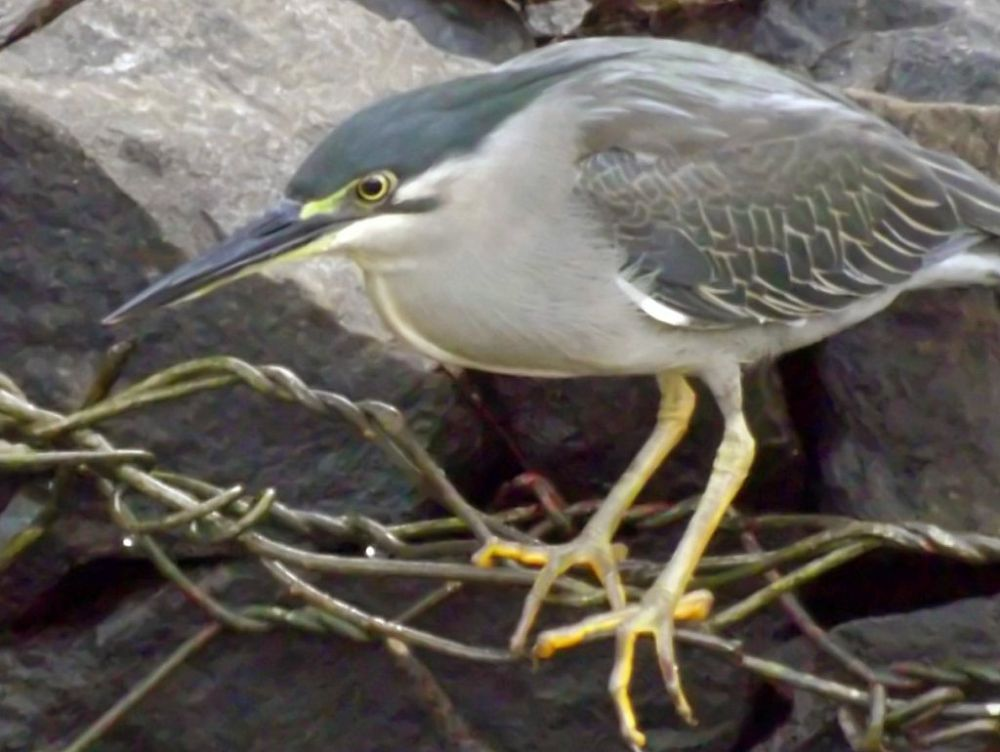Striated heron enhanced by Chris Roughley