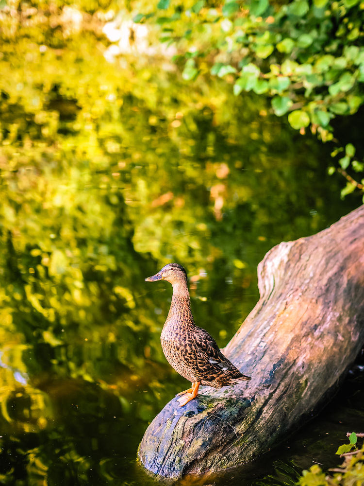 Photo in Animal #mallard #duck #ente #trappensee #heilbronn #lake #wasser #water #olympus e-pl3 #lightroom