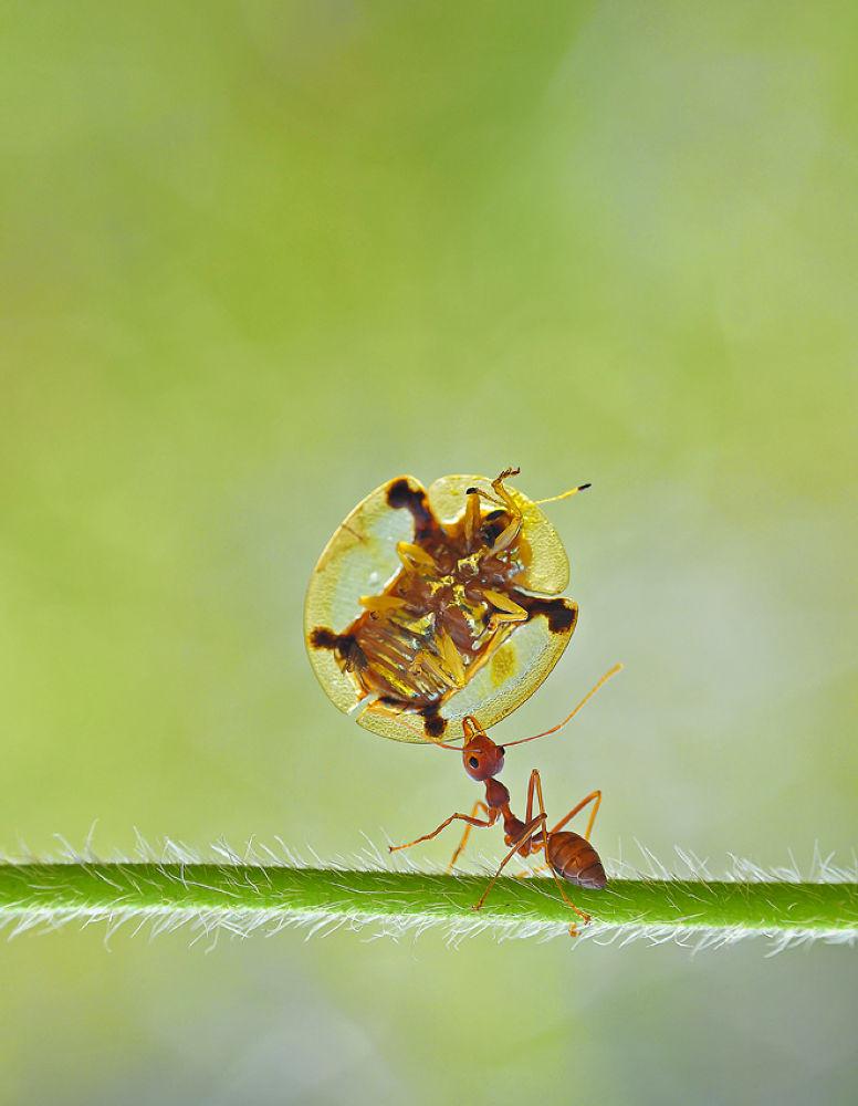 stong ant by dedy gunawan