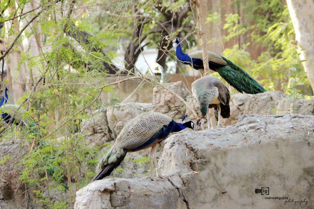 The Three Peacocks_IMG_2309 A by Indresh Gupta