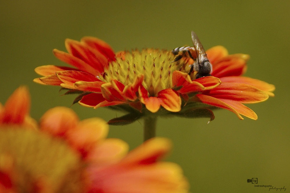 Bee & the Flower_IMG_2891 A by Indresh Gupta