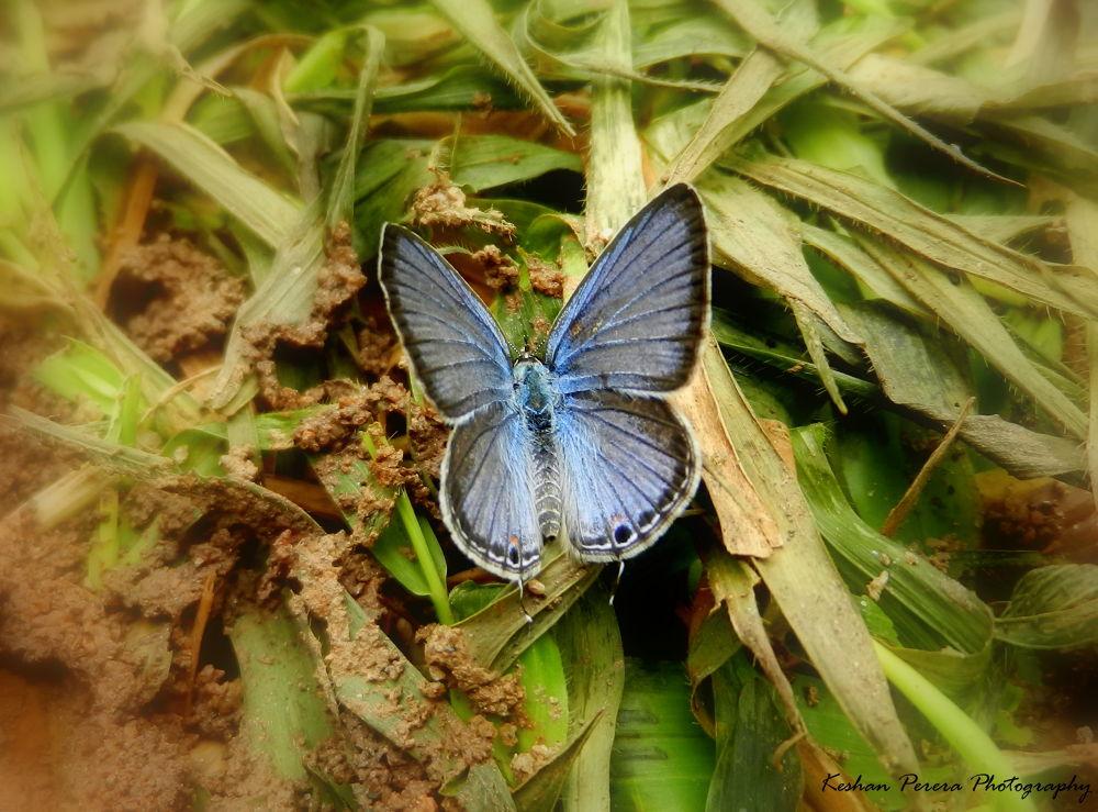 Butterfly by Keshan Perera