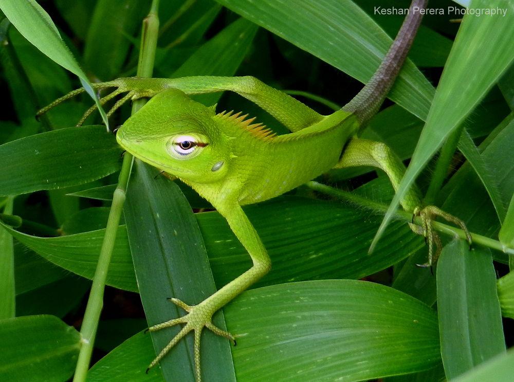 Lizard by Keshan Perera