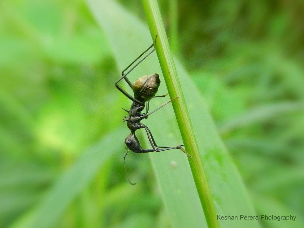 Resting Ant by Keshan Perera