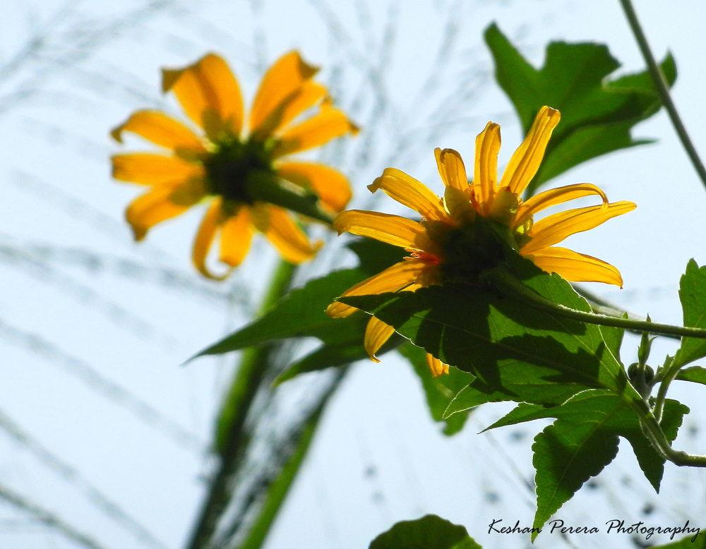 Blooming flowers by Keshan Perera