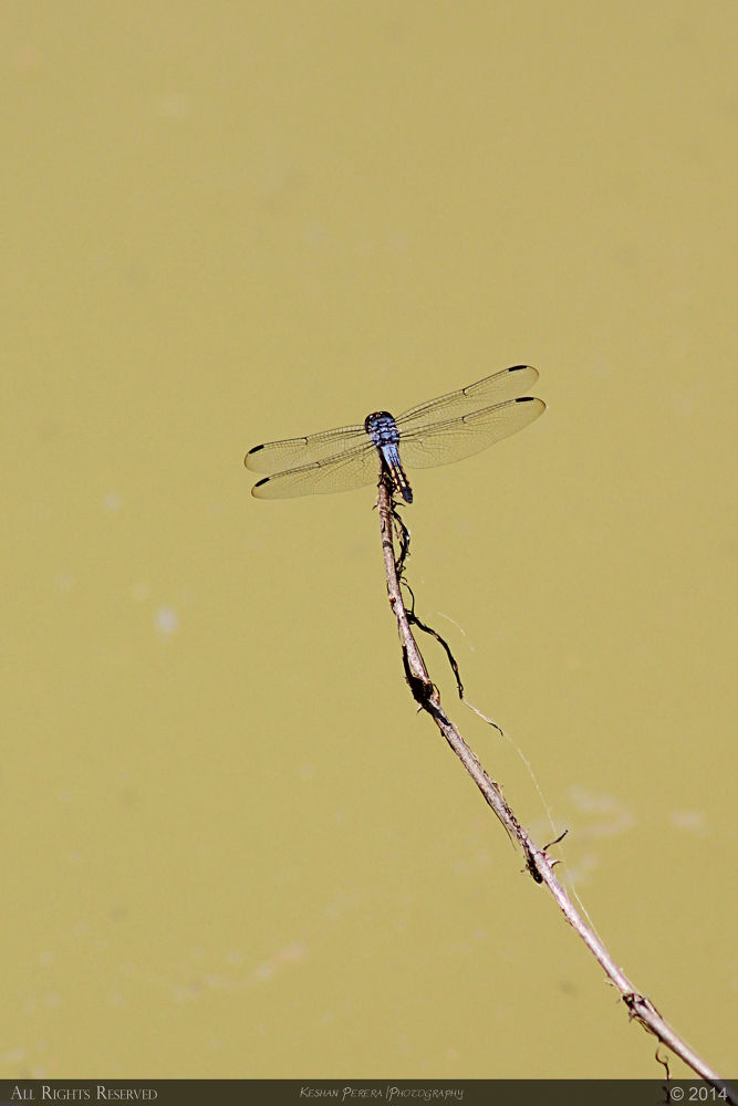 Dragonfly by Keshan Perera
