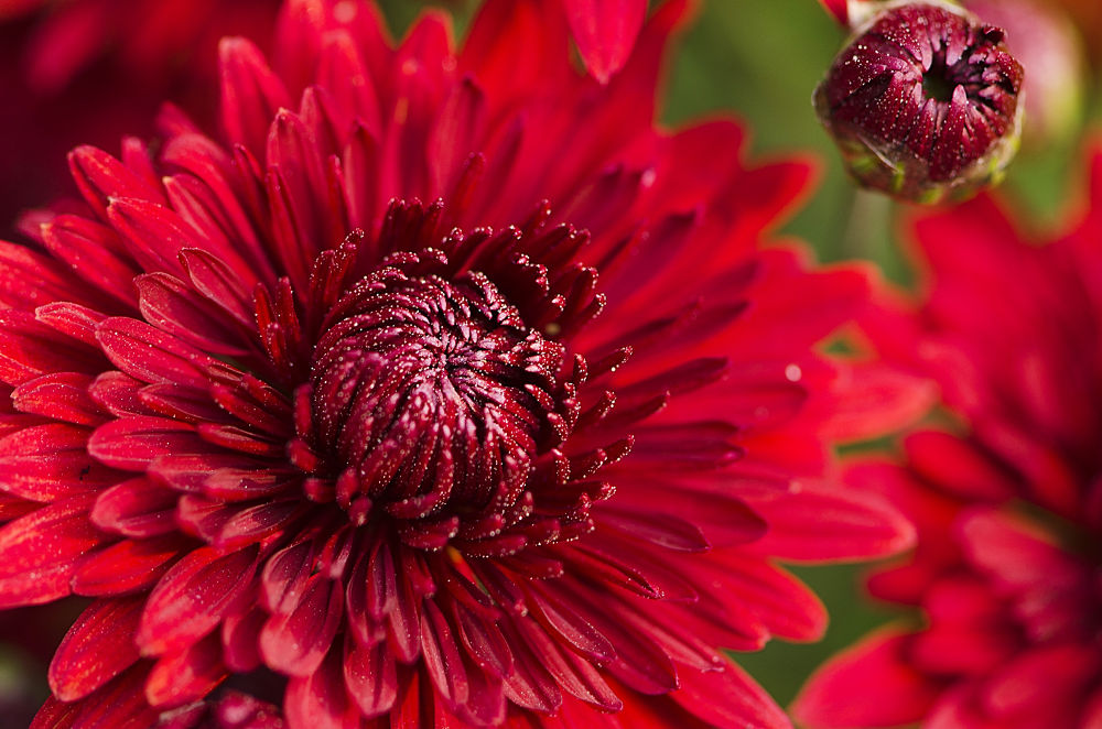 Photo in Nature #red #flower #nature #macro #west bengal #india #gourab