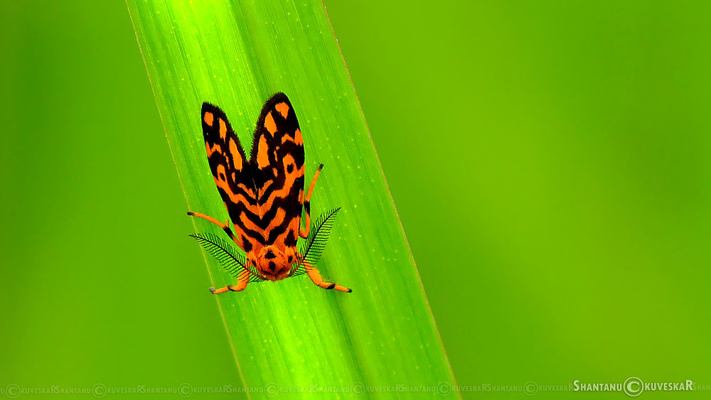Asura Moth (Asura conferta) by Shantanu Kuveskar