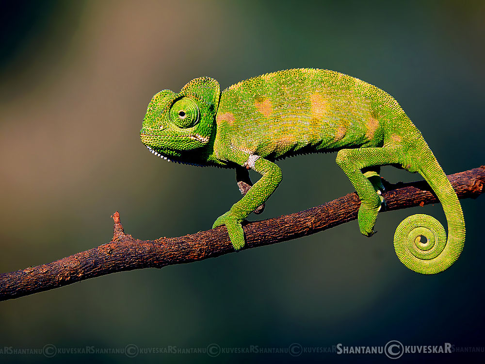 Three Legs... Baby Indian Chameleon (Chamaeleo zeylanicus) by Shantanu Kuveskar