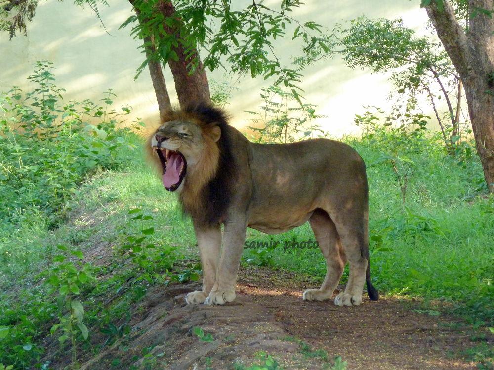 lion king by samirsarkar
