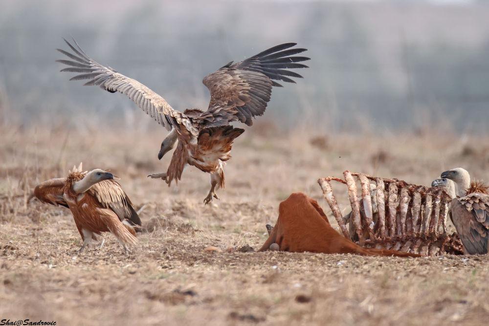 IMG_0191Griffon Vulture /  Gyps fulvus by shai sandrovic