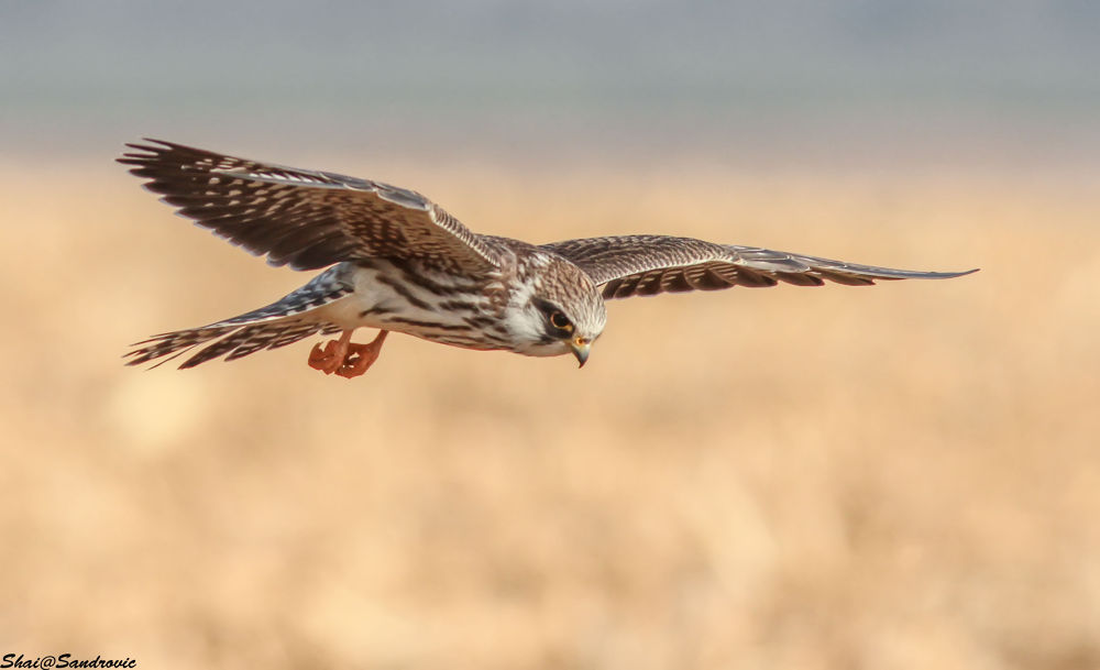 IMG_0384Red Footed Falcon / Falco vespertinus by shai sandrovic