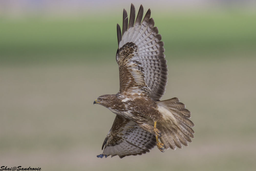 IMG_2185Common Buzzard / Buteo buteo by shai sandrovic