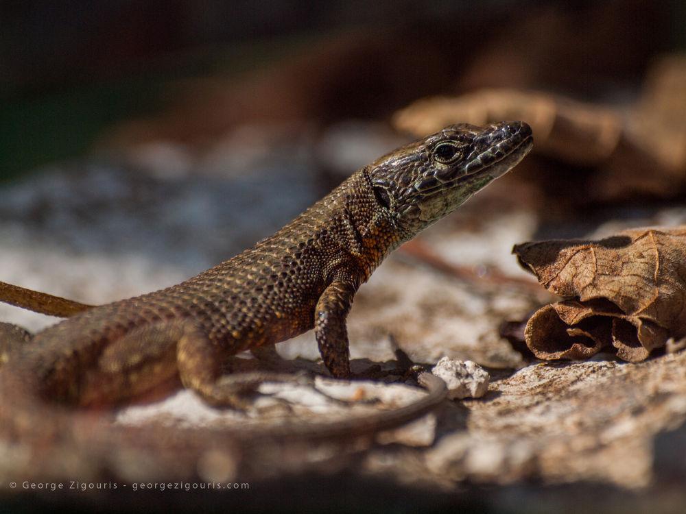 Lizard by George Zigouris
