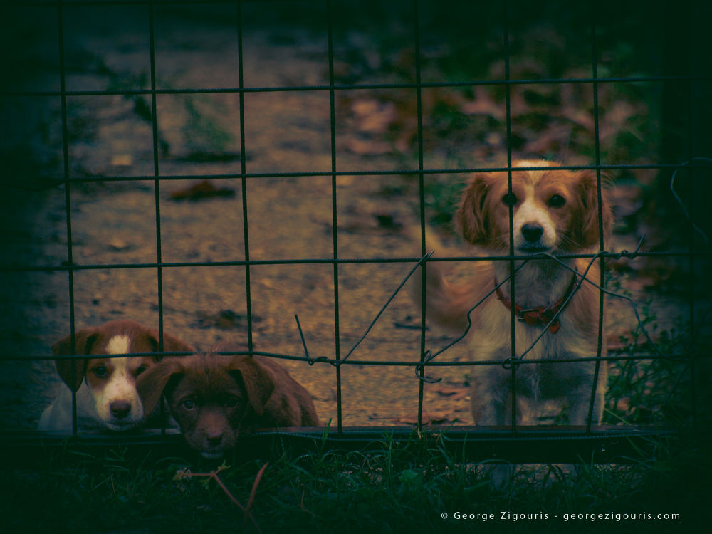 Puppies by George Zigouris
