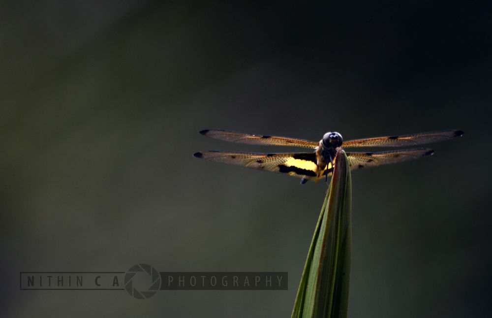 dragon fly... by NithinCA Photography