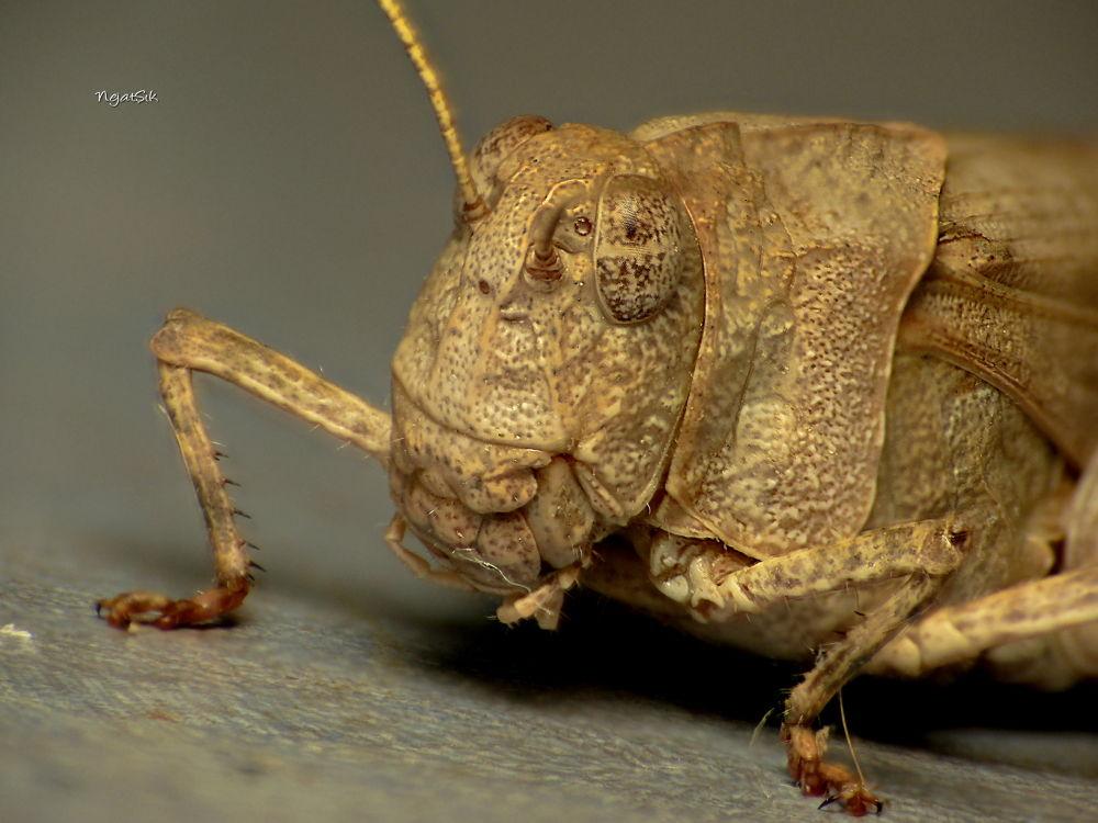 Grasshopper by Nejat Şık