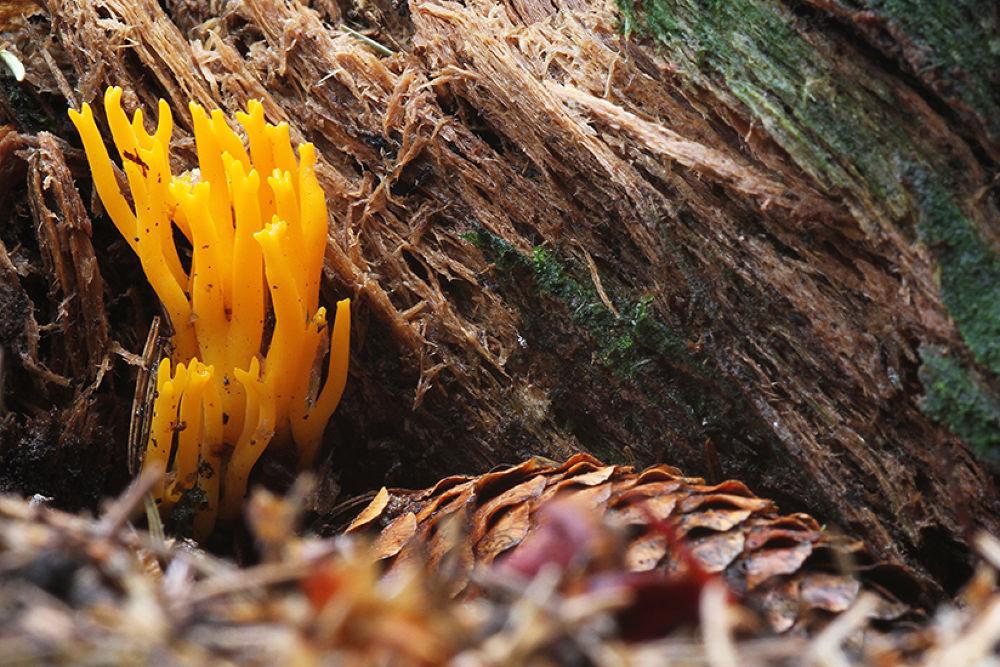 KORAAL ZWAM  coral fungus by Fok Vleeshakker