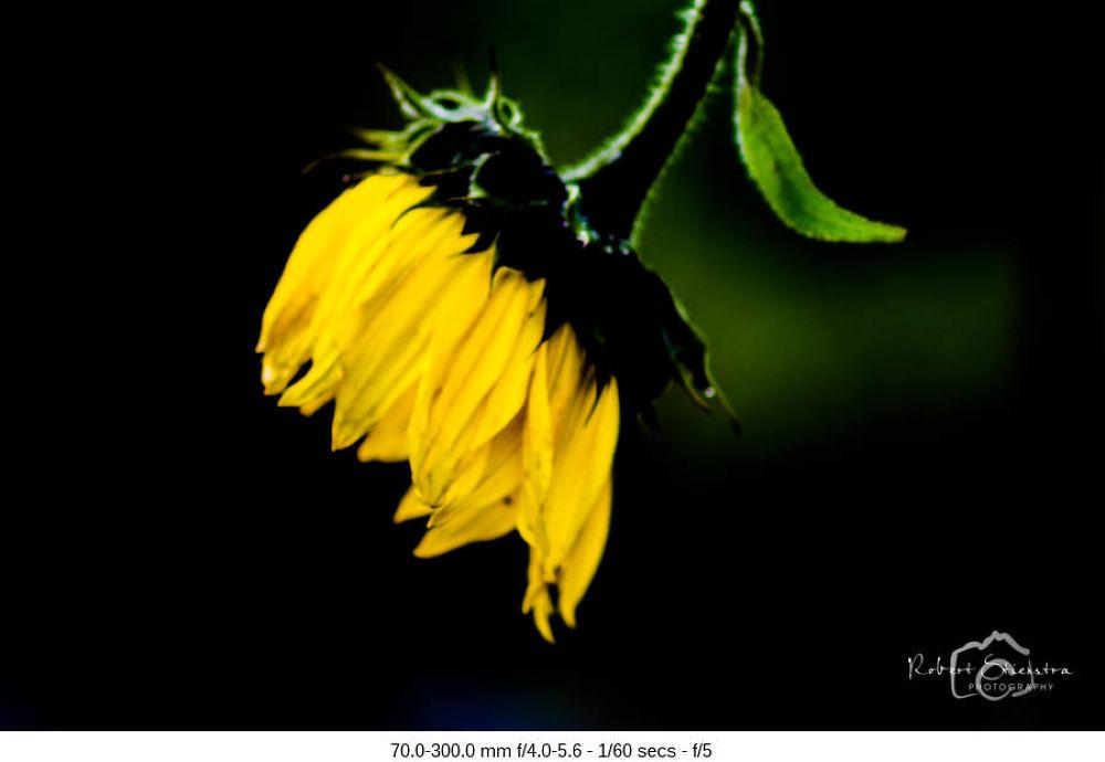 Sunflower by Robert Stienstra
