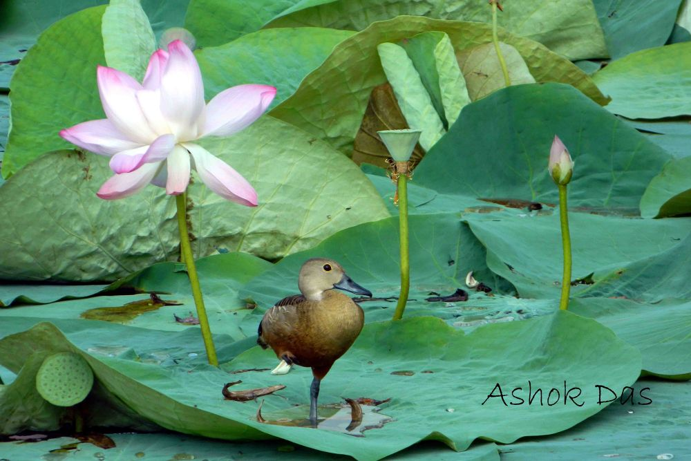 Lesser Whistling Duck by Asok Kumar Das
