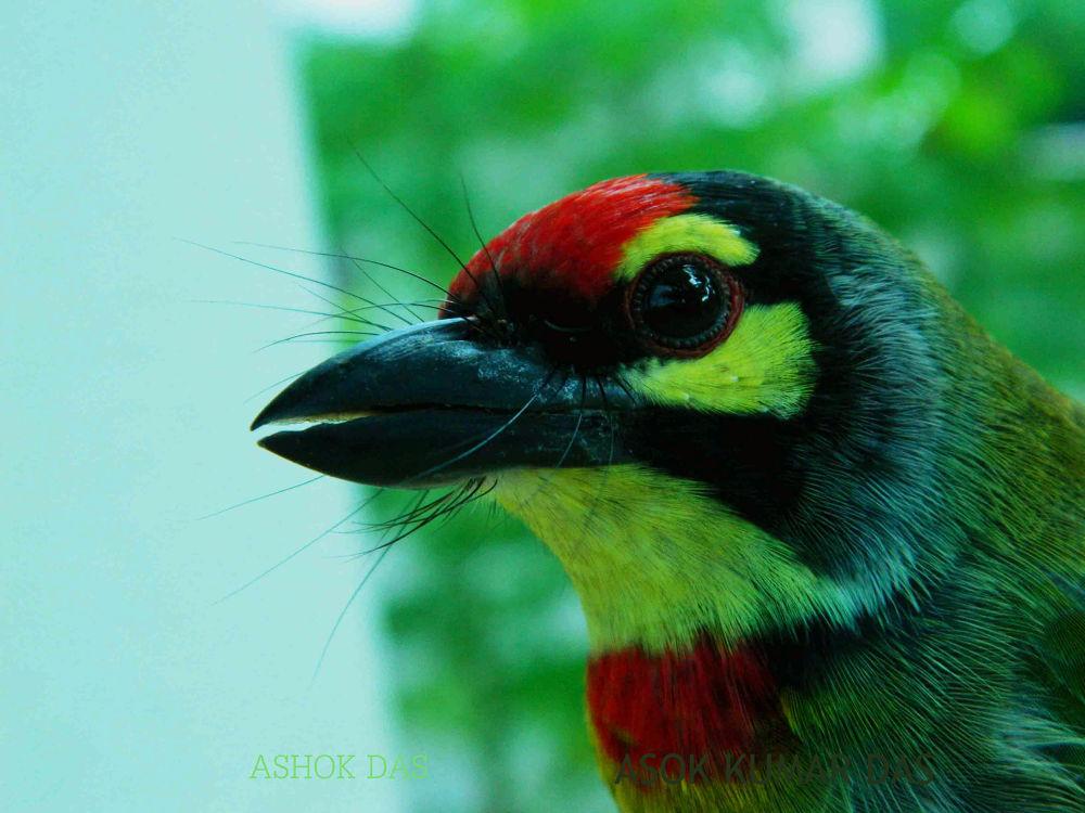 Cppersmith Barbet by Asok Kumar Das