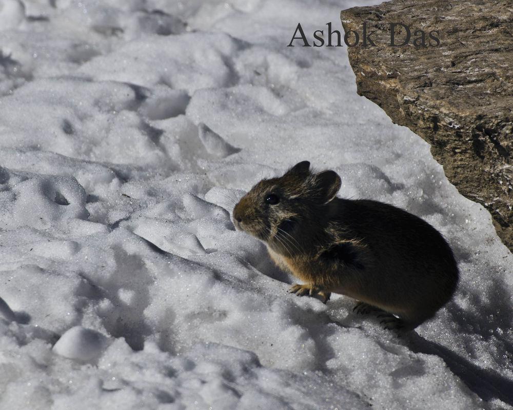 Snow rat by Asok Kumar Das