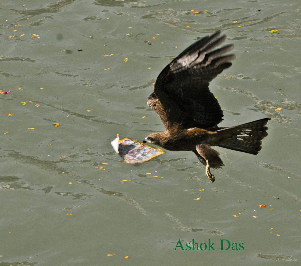 Golden Eagle by Asok Kumar Das