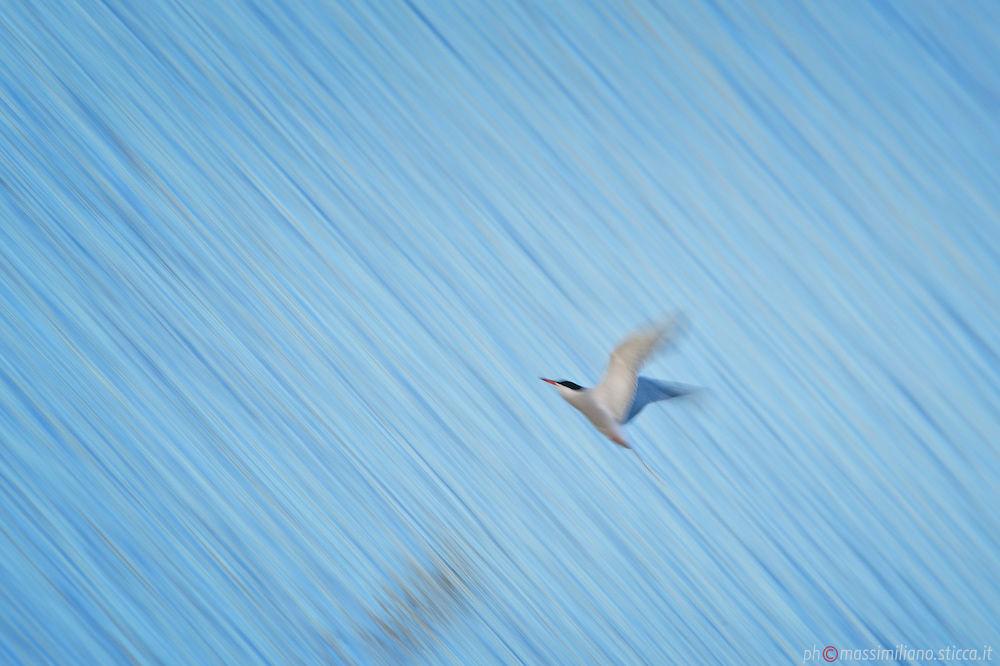 Common Tern - Sterna hirundo by massimiliano sticca
