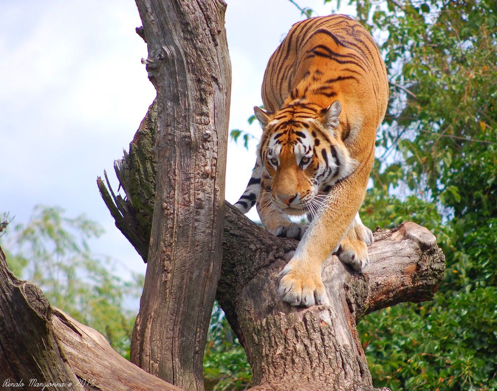 Tiger_04 by Renato Manzionna