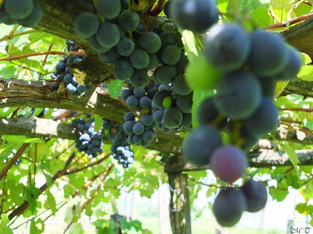 vines in my garden by Mustafa Tanrıverdi