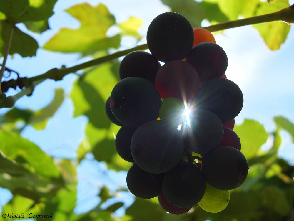 Grapes and Sun by Mustafa Tanrıverdi