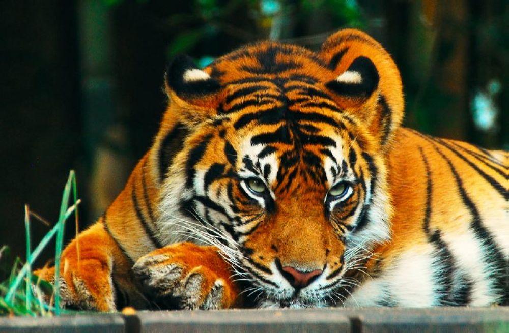 Tiger <3 by Yassiine