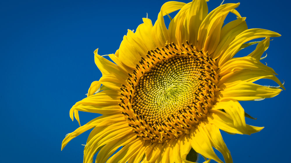sunflowers vs. blue sky by Andreas