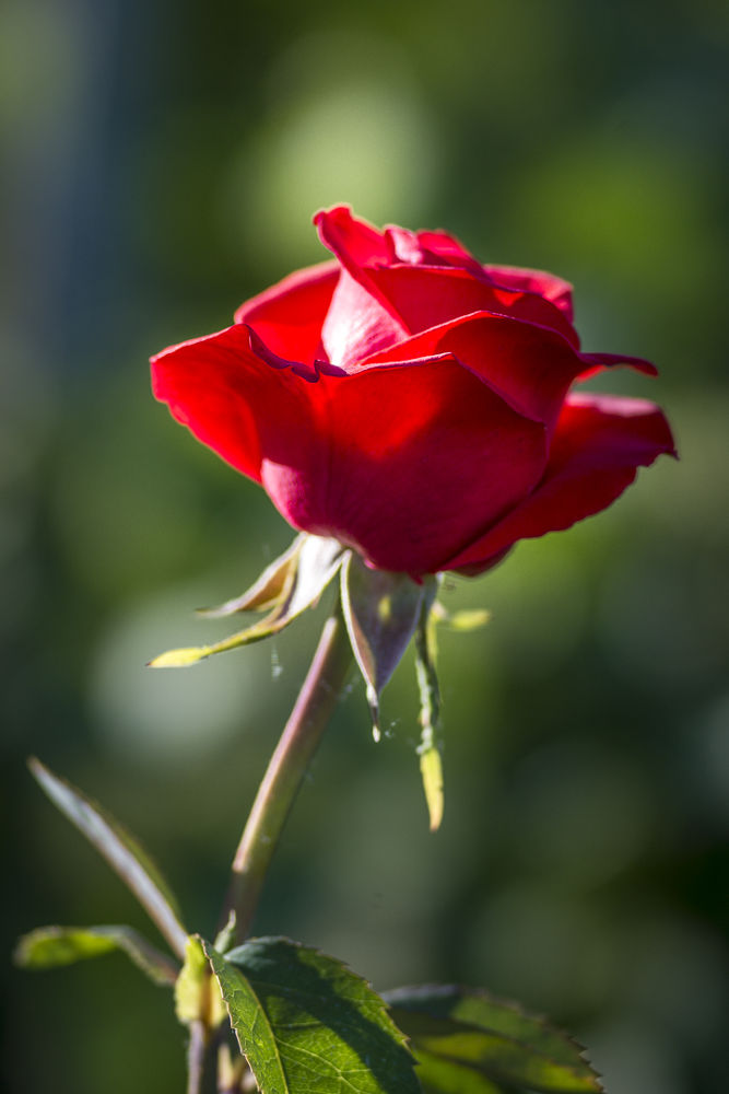 Rote Rose by Andreas