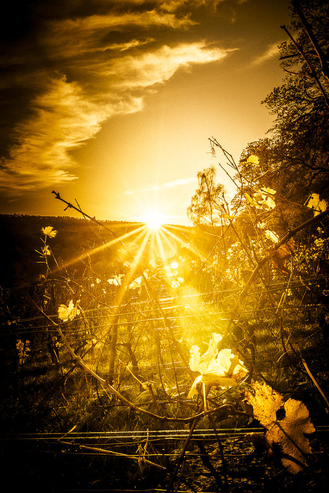golden view through the vineyard by Andreas