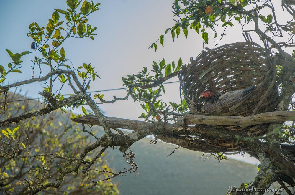 Photo in Rural #galinha