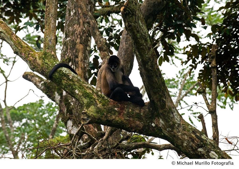 Monkey 1 by Michael Murillo Rojas