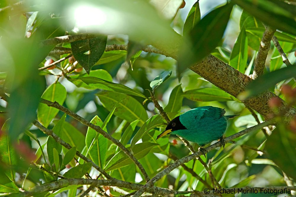 Green Honeycreeper (Male) by Michael Murillo Rojas