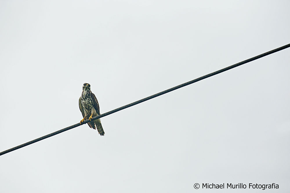Gray Hawk (Juvenil) by Michael Murillo Rojas