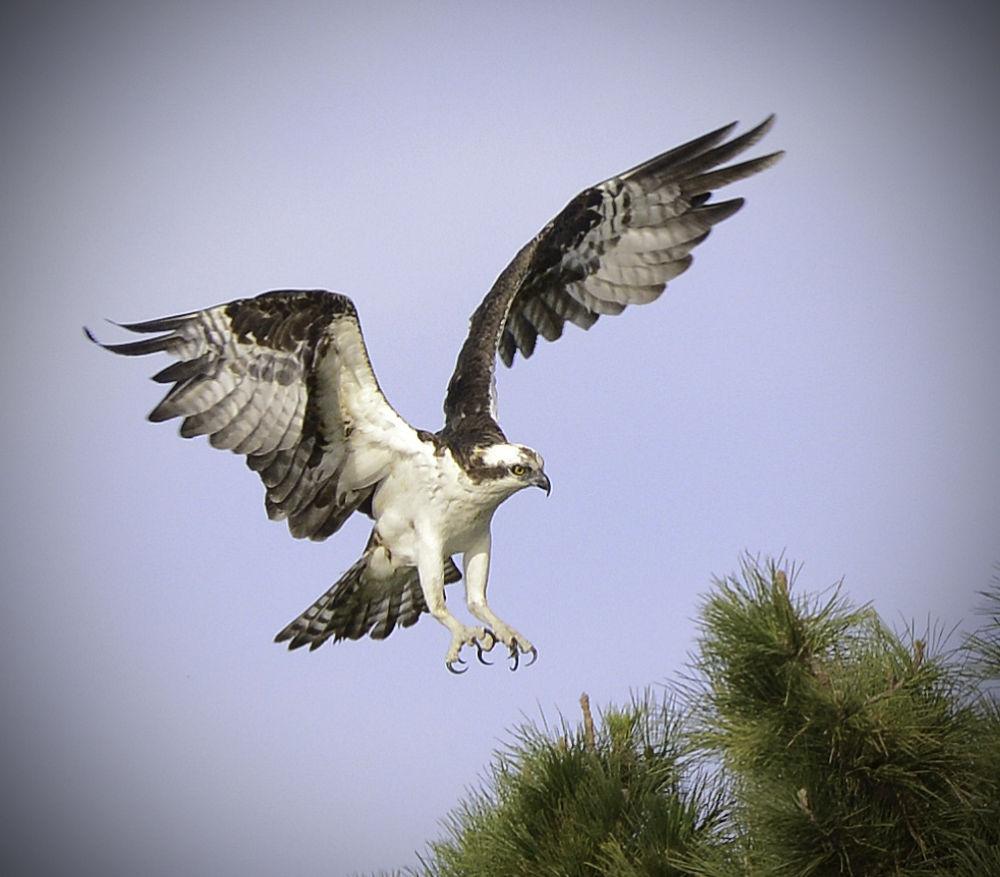 Osprey by robrosenbaum14