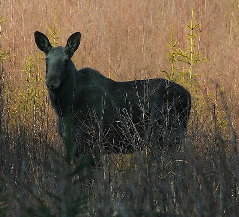 Wild Elk by monanorrman