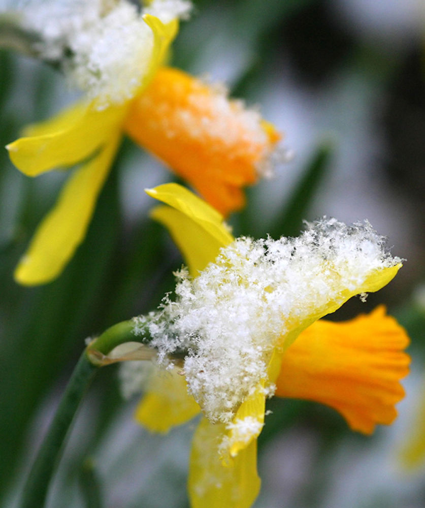 Photo in Random #ypa2013 #flower #yellow #snow