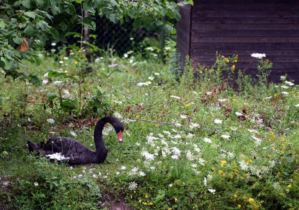 Black Swan by monanorrman