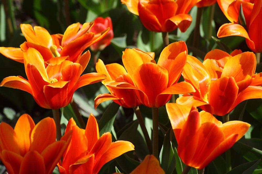 tulips by monanorrman
