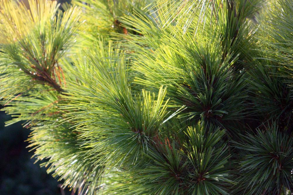 pine by monanorrman