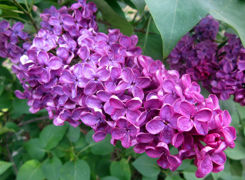 Lilac by monanorrman