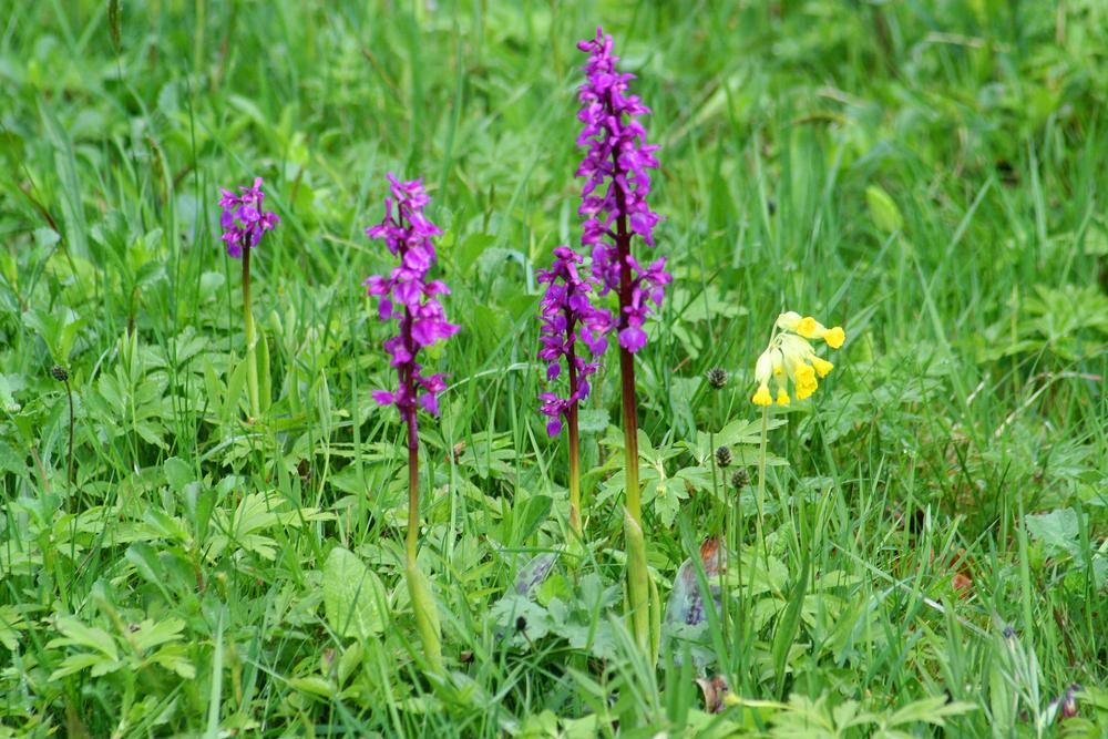Photo in Random #ypa2014 #orchid #orchis mascula #purple #green