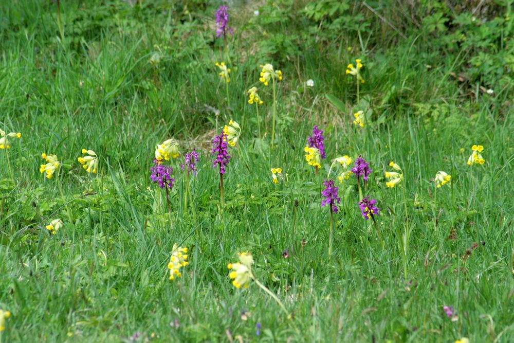 Photo in Random #orchid #cowslip #yellow #purple #green #ypa2014